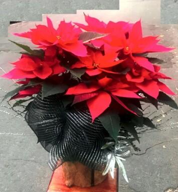 Venta de flores para navidad Ciudad de México
